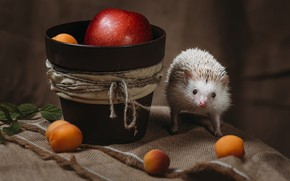 Picture white, look, needles, pose, background, apples, rope, fabric, pot, animal, hedgehog, fruit, still life, face, ...