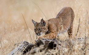 Picture grass, pose, stump, paws, lynx