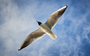 Picture bird, wings, Seagull, Seagull in the sky