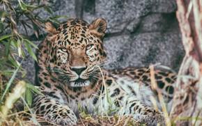 Picture stay, predator, leopard