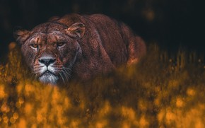 Picture look, face, pose, the dark background, lioness, bokeh, photoart