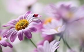 Picture macro, flowers, nature, ladybug, beetle, Rina Barbieri