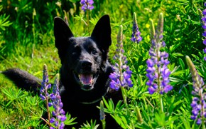 Picture face, flowers, dog, shepherd, lupins
