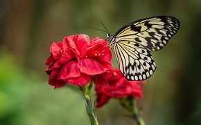 Picture macro, flowers, background, butterfly, red, insect, carnation