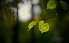 Picture leaves, light, the dark background, branch, green, bokeh, листья липы