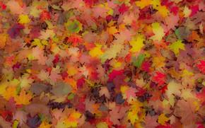 Picture autumn, leaves, carpet, maple