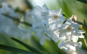 Picture leaves, light, flowers, blur, spring, white, daffodils, bokeh
