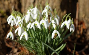 Picture macro, spring, snowdrops