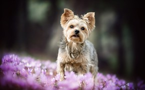 Picture forest, nature, background, glade, dog, spring, baby, crocuses, puppy, lilac, bokeh, Yorkshire Terrier