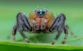 Picture eyes, macro, leaf, spider, green background, jumper, jumper, spider, jumping spider, членистоногое