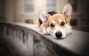 Picture look, dog, face, the parapet, bokeh, doggie, Welsh Corgi