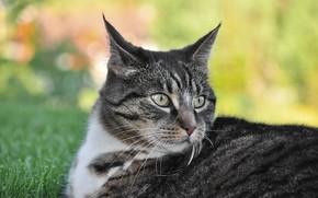 Picture cat, grass, cat, look, face, pose, grey, background, portrait, lies, striped, bokeh