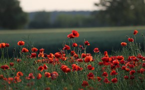Picture greens, summer, trees, flowers, nature, Maki, red, a lot, poppy field