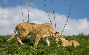 Picture the sky, grass, glade, baby, pair, lions, lioness, mom, lion, two