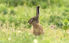 Picture greens, summer, grass, look, face, leaves, green, grey, background, glade, hare, portrait, meadow, profile, ears, …