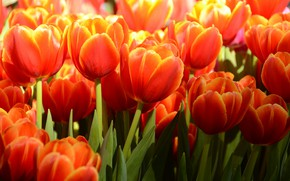 Picture light, flowers, tulips, red, flowerbed, a lot