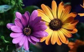 Picture flowers, yellow, lilac, Duo, two, osteospermum