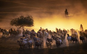 Picture horses, dust, the evening, the herd