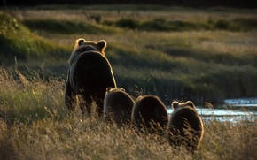 Picture nature, morning, bears