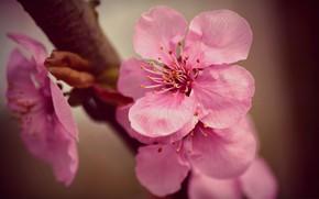Picture spring, petals, Sakura
