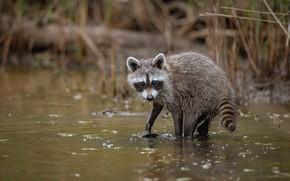 Picture baby, raccoon, cub, pond, enotik