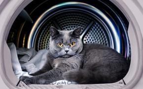 Picture cat, cat, look, grey, lies, British, yellow eyes, washing machine, the boss