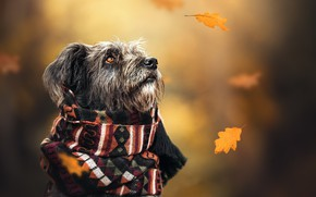 Picture autumn, dog, scarf