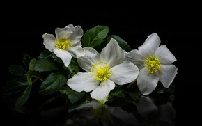 Picture flowers, white, black background, anemones