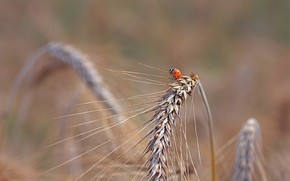 Picture nature, ladybug, ears