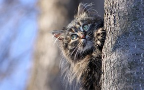 Picture cat, the sky, look, nature, blue, kitty, grey, background, tree, blue, spring, kitty, striped
