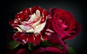 Picture macro, roses, Burgundy, motley