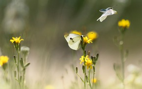 Picture summer, macro, light, flight, butterfly, flowers, insects, mood, two, blur, yellow, white, a couple, bokeh, …