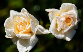 Picture drops, the dark background, two, roses, white, Duo, bokeh