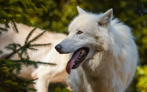 Picture forest, language, white, look, face, light, branches, nature, pose, green, background, wolf, portrait, spruce, mouth, …