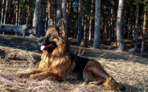 Picture dog, longhair, German shepherd, shepherd, Norway de Zauber Hof