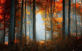 Picture yellow leaves, autumn forest, morning mist