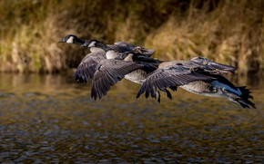 Picture autumn, flight, birds, pack, pond, geese, canadian goose, flying