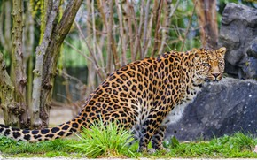 Picture branches, nature, stones, leopard, sitting, zoo