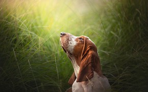Picture grass, face, dog, The Basset hound