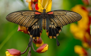 Picture flower, macro, butterfly, Sailfish Catch