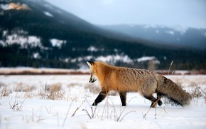 Picture winter, field, forest, face, snow, mountains, nature, pose, Fox, red, walk, blade