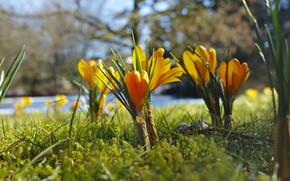 Picture background, spring, bokeh, yellow crocuses