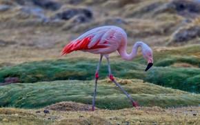 Picture field, nature, pose, rain, bird, Flamingo, blurred background, pink flamingos