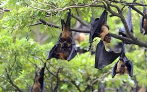 Picture nature, tree, bat, bats, a lot, hang, flying Fox, flying Fox, flying fox