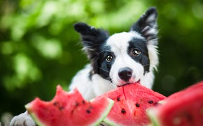 Picture look, face, nature, mood, black and white, portrait, dog, positive, watermelon, puppy, green background, slices, …