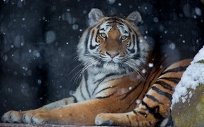 Picture winter, look, snow, tiger, the dark background, snowfall