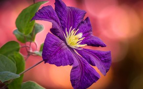 Picture purple, macro, clematis