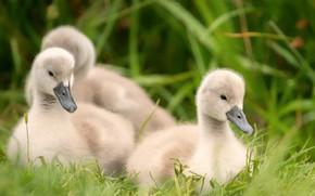 Picture grass, birds, nature, shore, glade, three, Swan, kids, company, trio, chick, Chicks, brood, the Lebeda, …