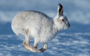 Picture winter, look, snow, hare, profile, walk, Bunny, Whitey