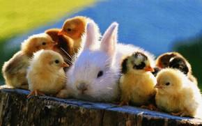 Picture animals, chickens, rabbit